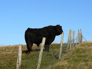 Bull on Fellbarrow