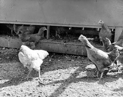 Ayam yang Hidup Tanpa Kepala
