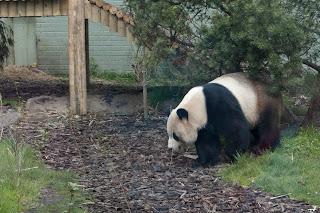 Giant Pandas in Scotland