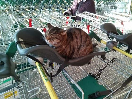 Brutus si Kucing Supermarket sedang tidur di atas kursi-bayi