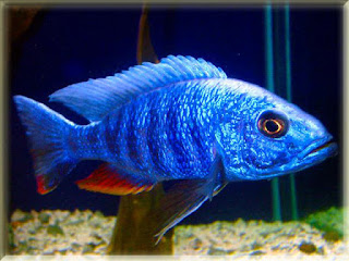 Electric Blue Hap Fish Pictures