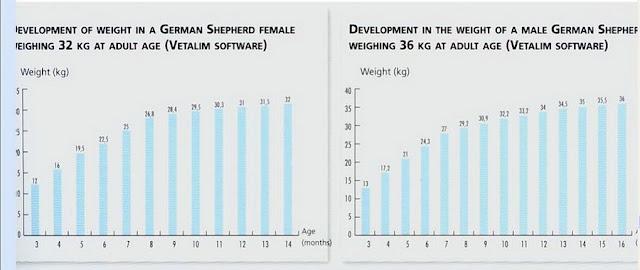 Sự phát triển về cân nặng của 1 chó Berger cái cân nặng 32 kg và 36 kg khi trưởng thành