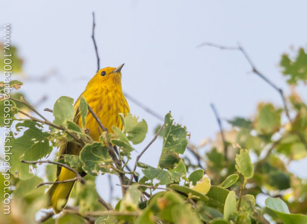 Click the Yellow Warbler below to find local birding Guides