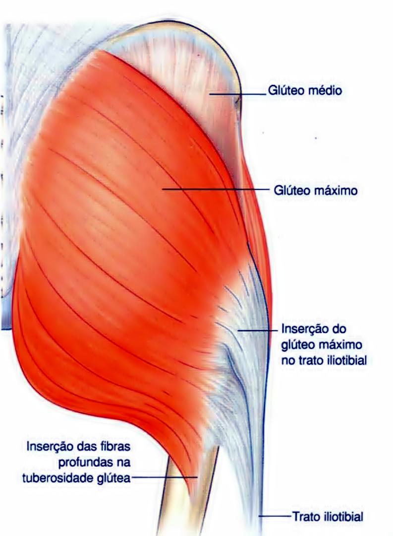 Vistoso Anatomía Músculos De Los Glúteos Foto - Anatomía de Las ...