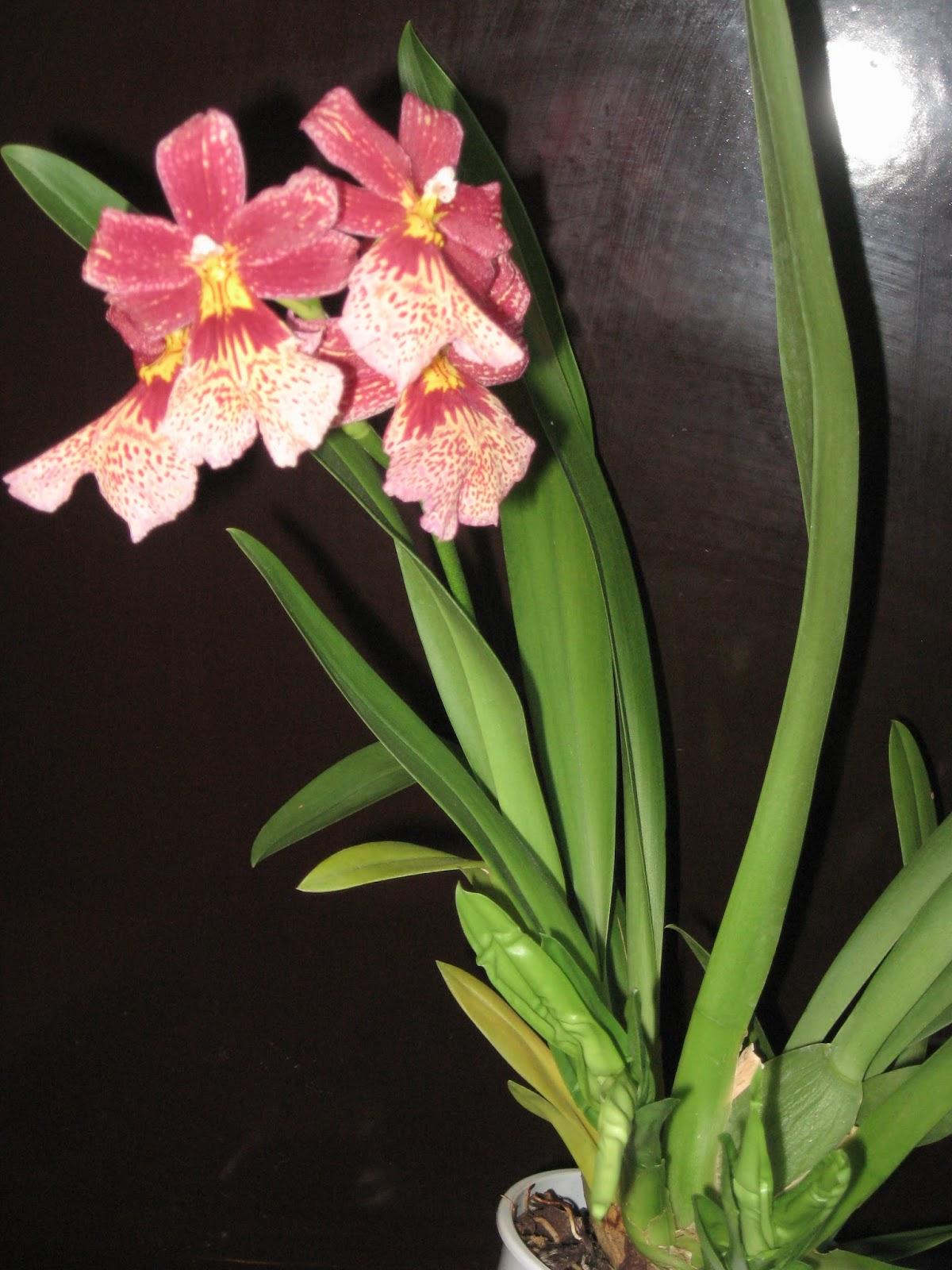 Nelly isler орхидея уход
