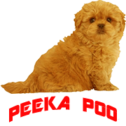 PeekaPoo - Size, Character, Breeders, Mix, Color, Sale, Price