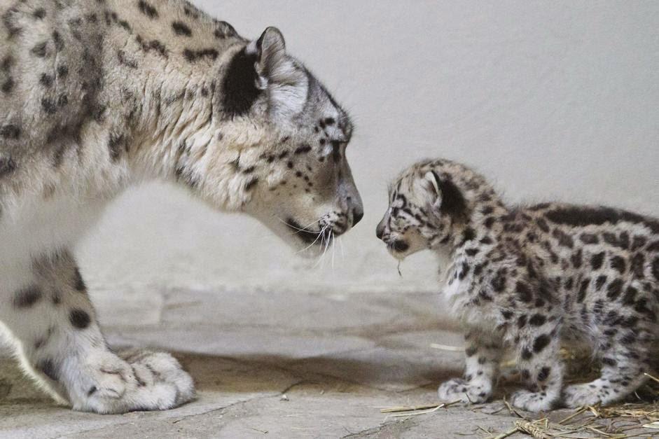 Il leopardo delle nevi non emette ruggito