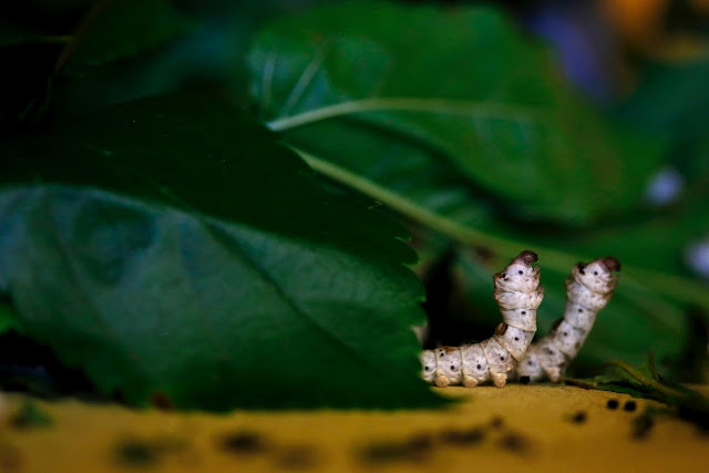 Little Silk Makers - Silkworms
