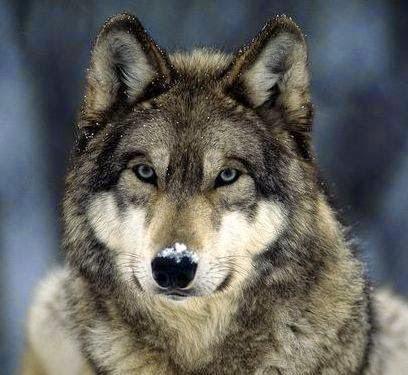 Espíritu Lobo