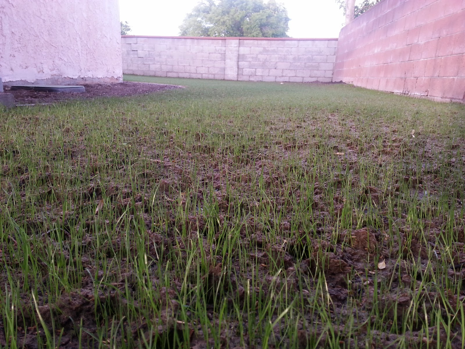 how to grow grass in southern california