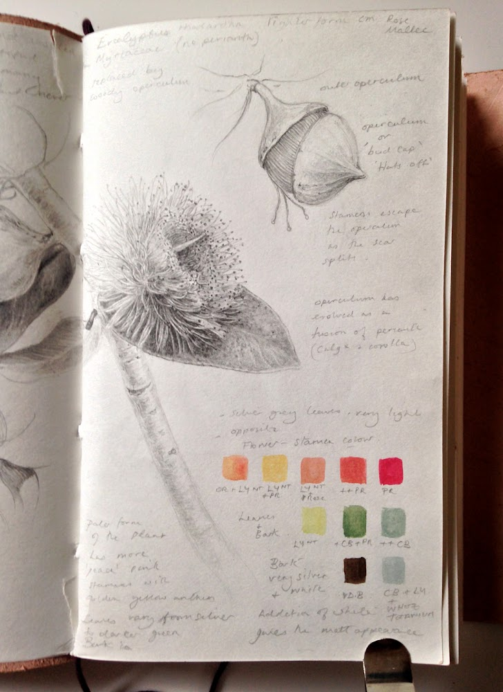 Eucalyptus formosa sketchbook study page detail