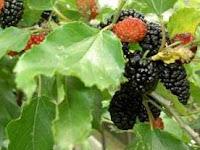 morera con fruto