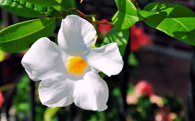 Flor blanca de mi jardín - My garden white flower
