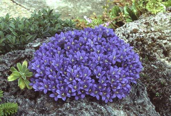 Arte y jardiner a plantas de rocalla diversas especies 9 for Plantas para rocallas