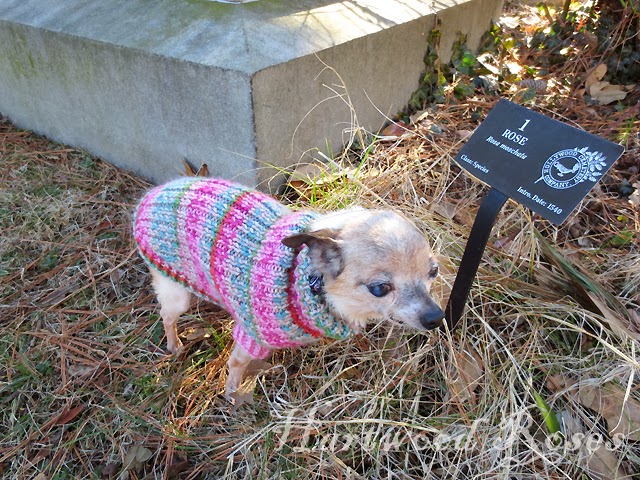 Hartwood Roses Pattern For Winnies Tiny Knitted Dog Sweater