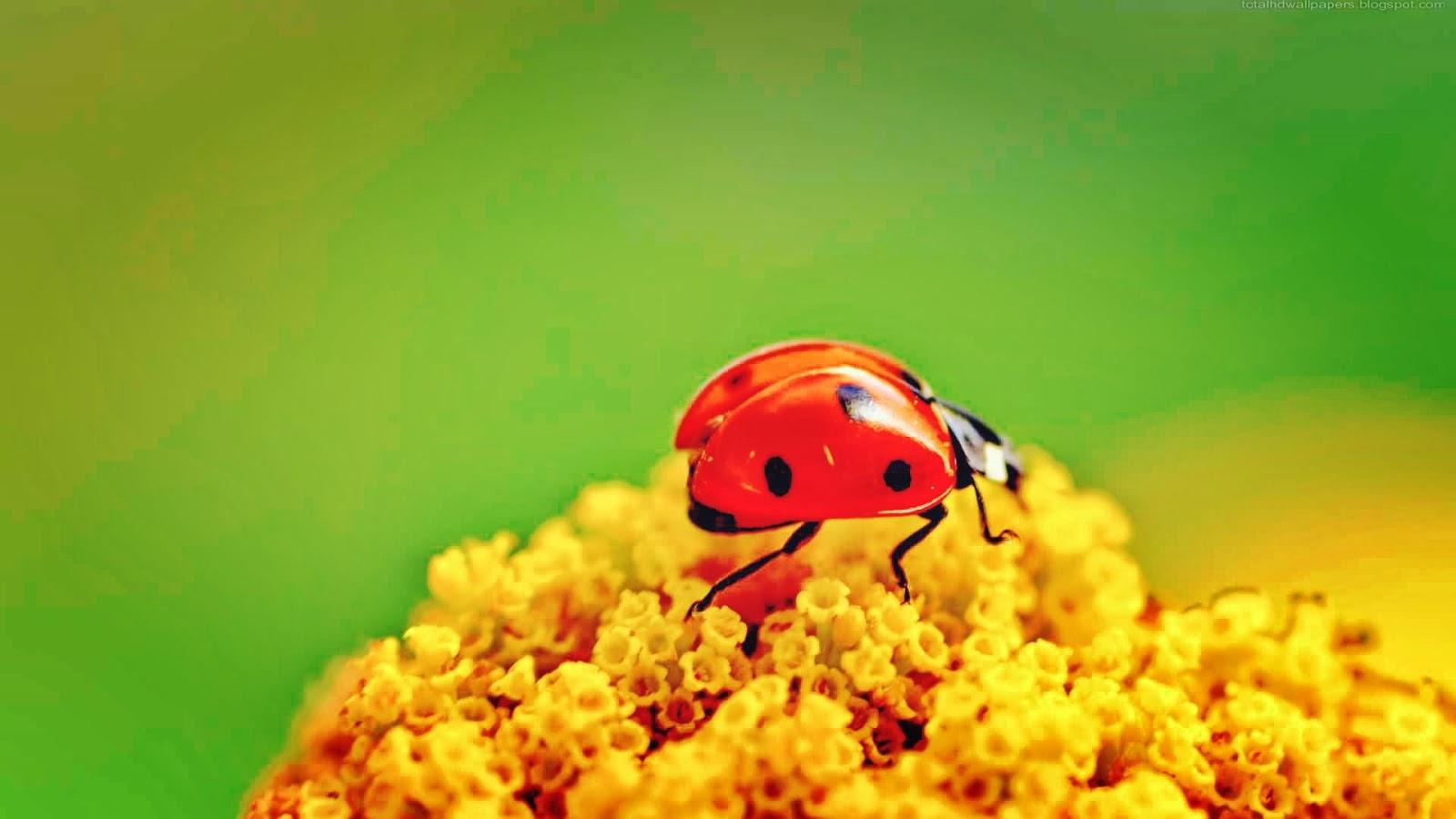 Beautiful Ladybugs Macro wallpapers | All HD Wallpaper 2014