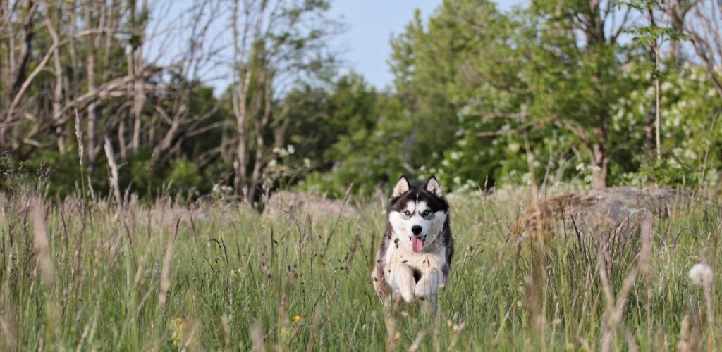 Siberi husky Lore