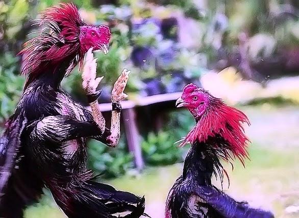 cara ternak ayam pejantan