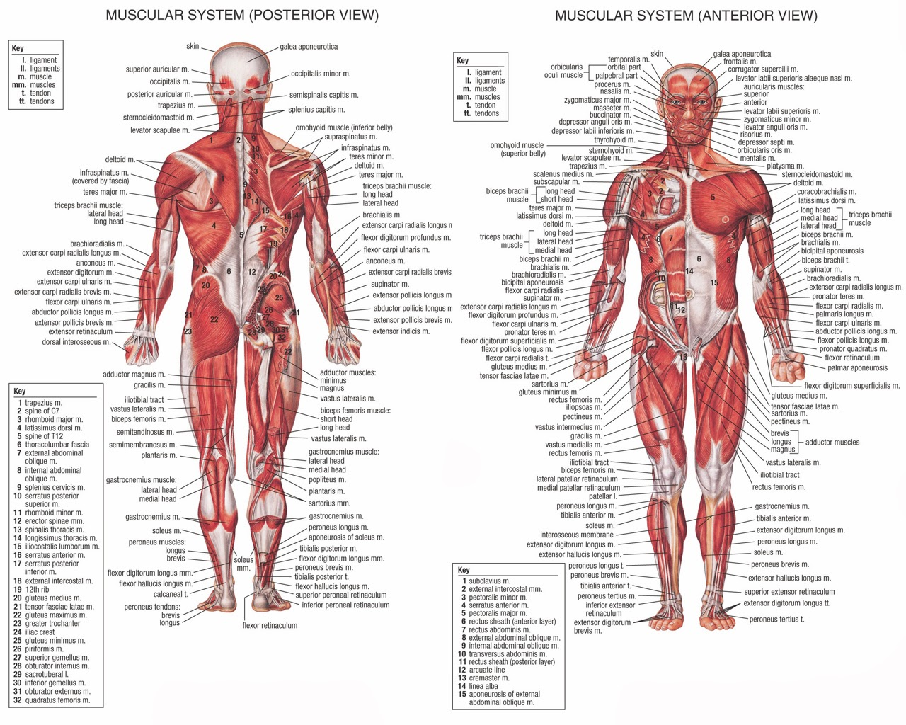 Human body muscle anatomy