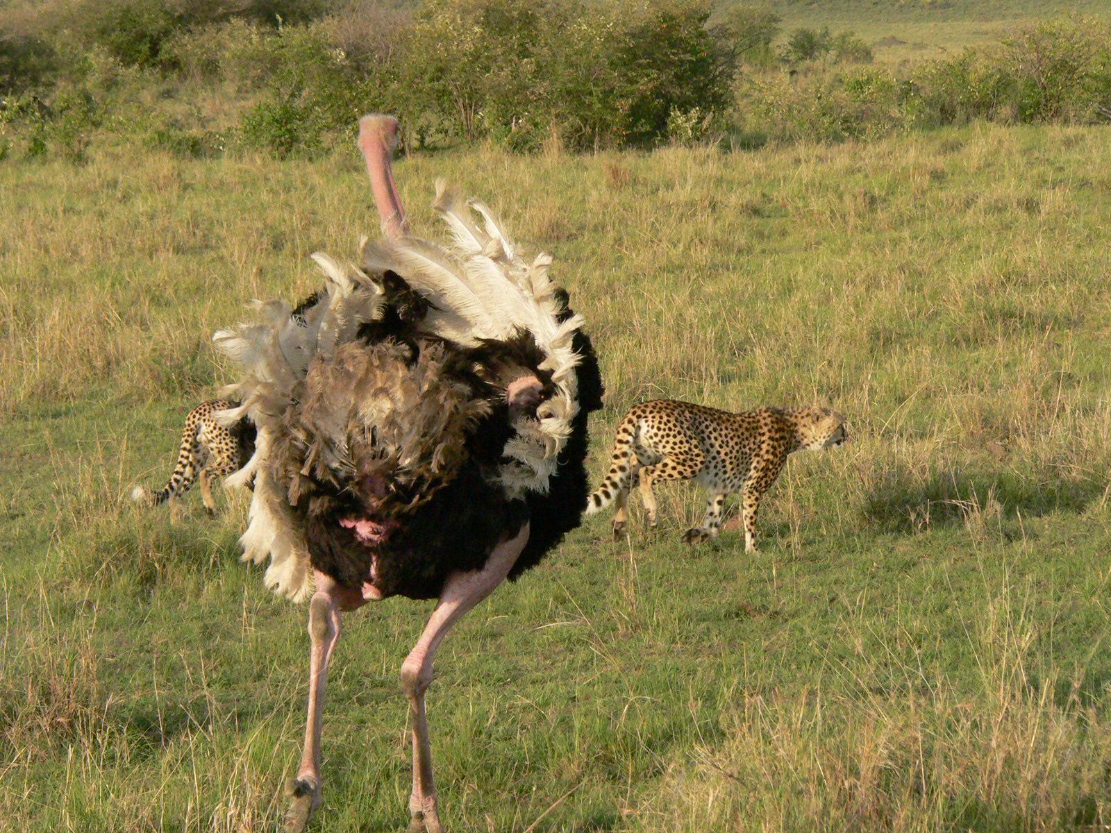 Dangerous Ostrich Attack