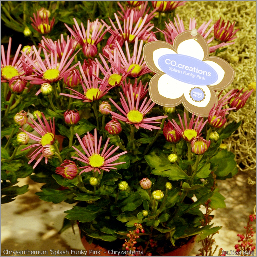 Chrysanthemum 'Splash Funky Pink' - Chryzantema