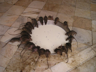 Combaten una plaga de ratas con cuchillo y tenedor