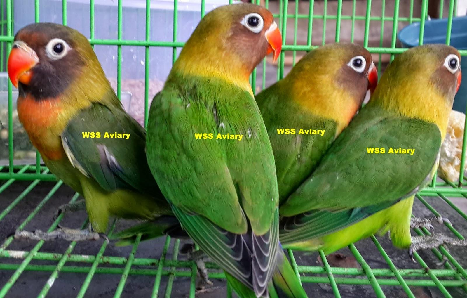 labet ciri ciri ciri lovebird green series htm burung labet
