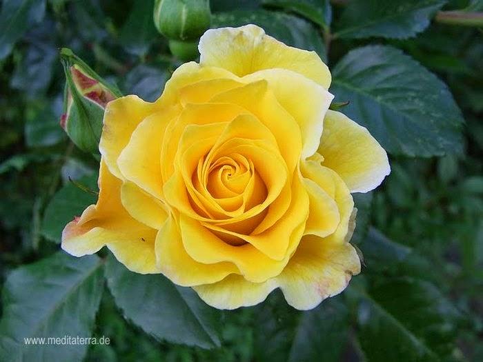 kostenlose rosenfotos kostenlose rosenbilder fotos mit gelben rosen wildrosen gratis. Black Bedroom Furniture Sets. Home Design Ideas