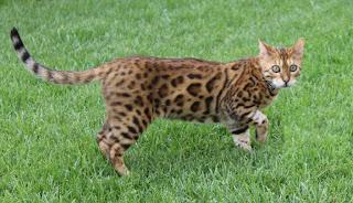 image Bengal Cat - Simba Millbrook Ontario