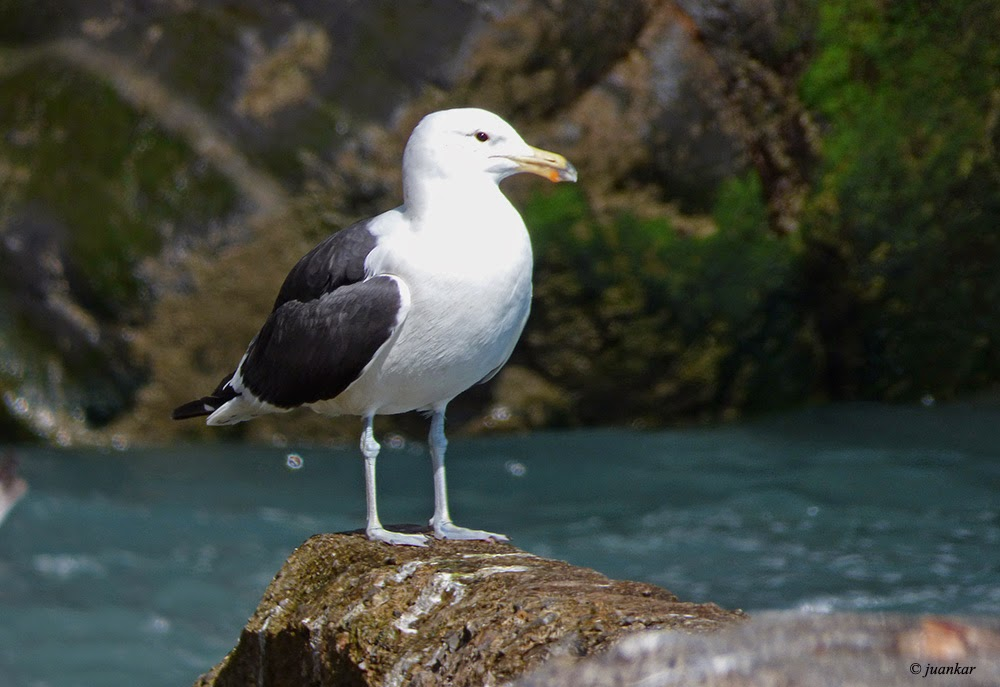 Larus dominicanus. Kelp Gull