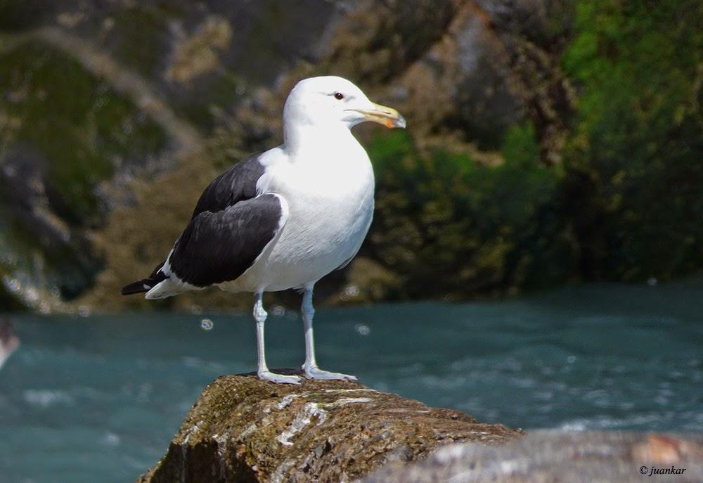 Larus dominicanus. Kelp Gull