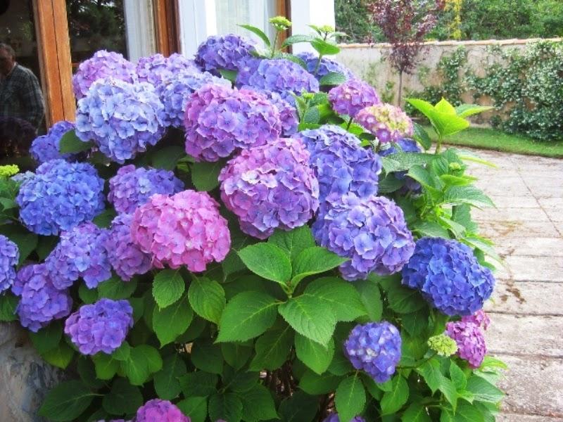 Por el mundo flores flores y flores - Porros de hortensias ...