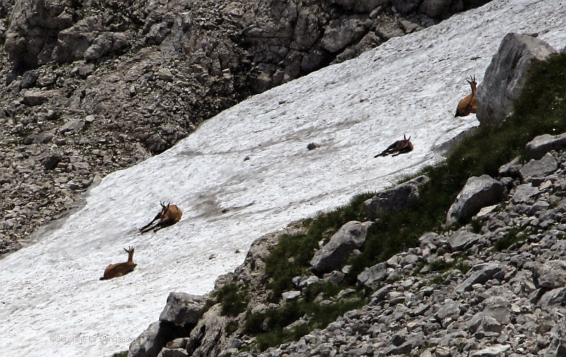 Chamois in the Austrian Alps