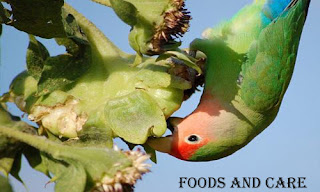 lovebirds mainly feed on seeds.