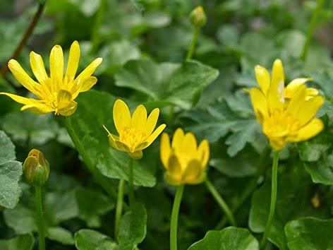 Celidonia menor (Ranunculus ficaria)