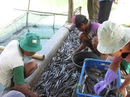 Pemasaran dan Potensi Pasar Budidaya Ikan Lele