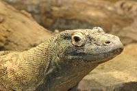 Vertebrata Reptil-Komodo