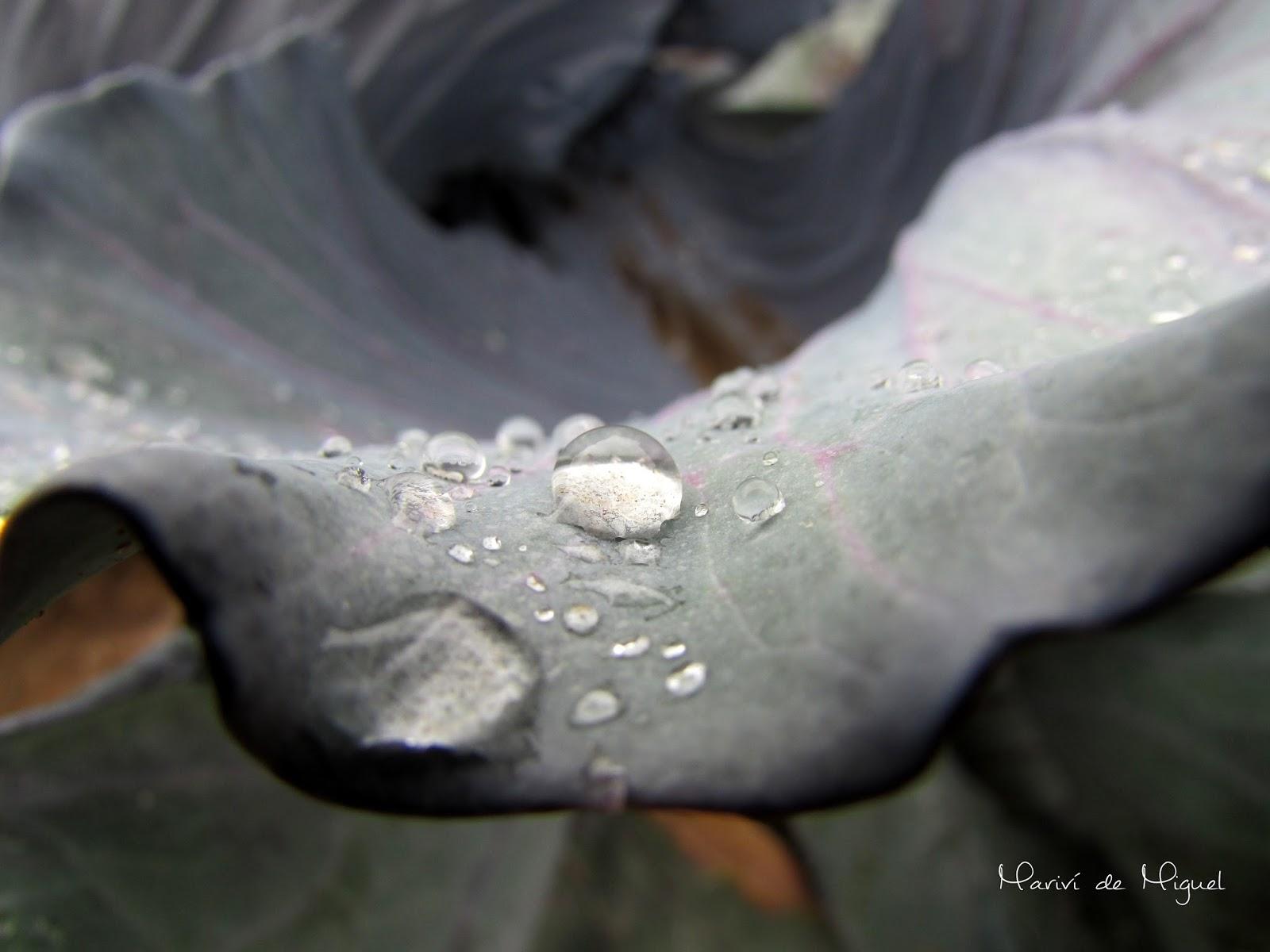 lluvia col lombarda