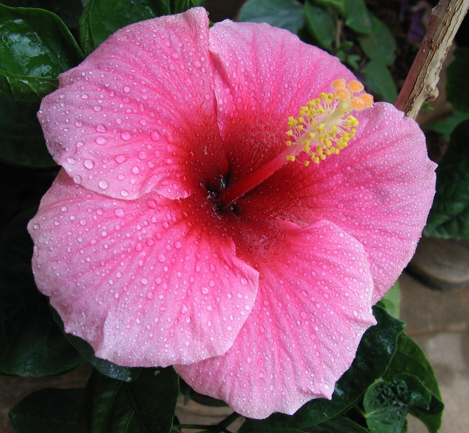 Bunga raya, sebenar nya dikenali juga sebagai bunga sepatu dan kembang ...