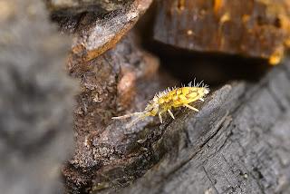 Para ampliar Entomobrya hacer clic
