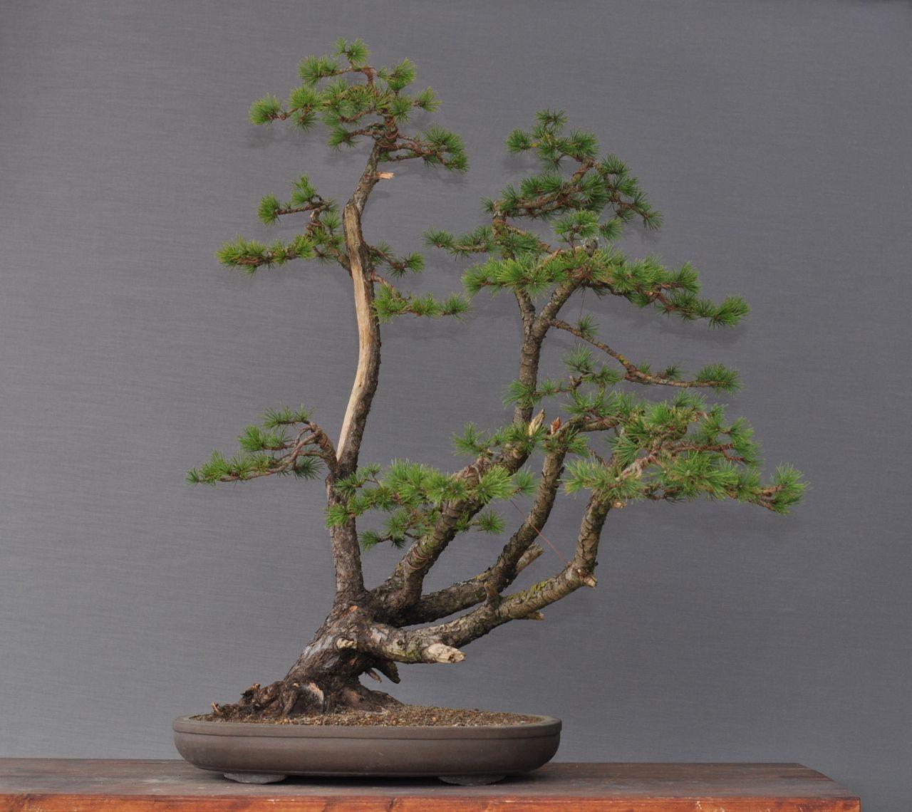 bonsai und beistellpflanzen kiefer berarbeitet. Black Bedroom Furniture Sets. Home Design Ideas
