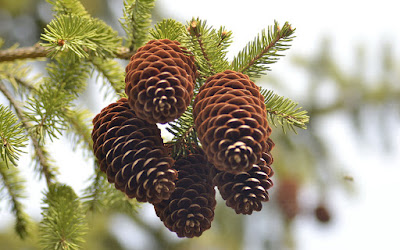 Pine Nut (Pinus Spp) Overview, Health Benefits, Side effects