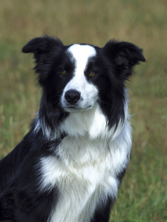 The dog in world: Border Collie dogs