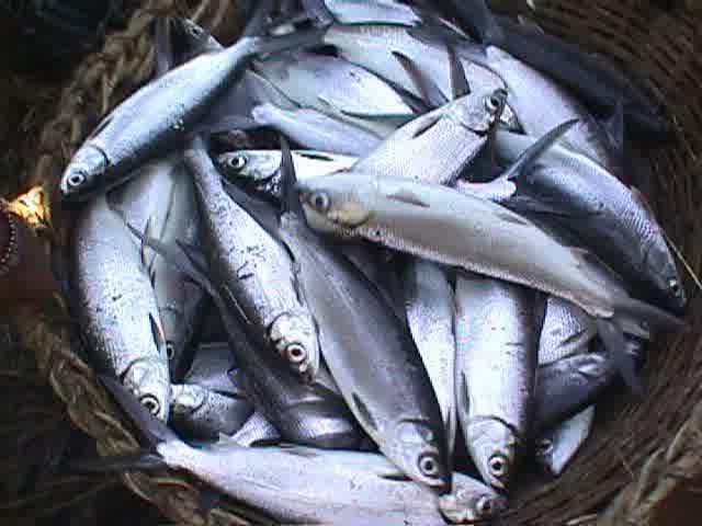 Panduan Cara budidaya Ikan Bandeng organik dengan Teknologi Organik NASA meliputi Produk Organik POC NASA, HORMONIK, VITERNA Plus (Viterna Cair atau Viterna Serbuk), TON (TambakOrganik Nusantara)