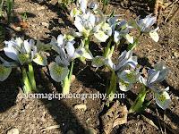 Iris reticulata-Katharine Hodgkin