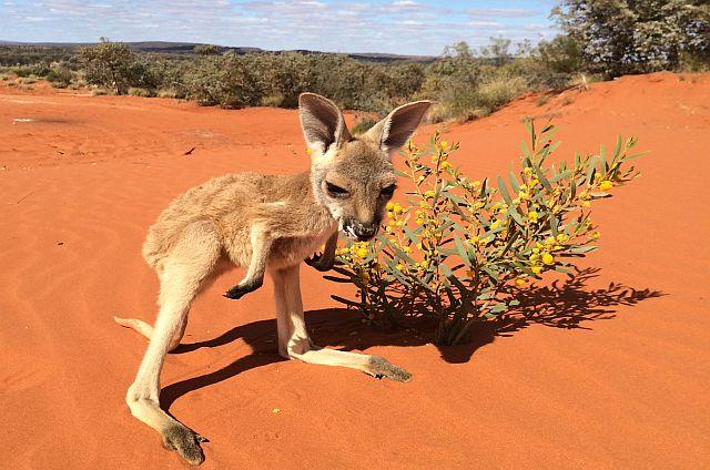 "A baby kangaroo, called a ""Joey,"" roams the 90-acre Kangaroo Sanctuary in Central, Australia (The Kangaroo Sanctuary)"