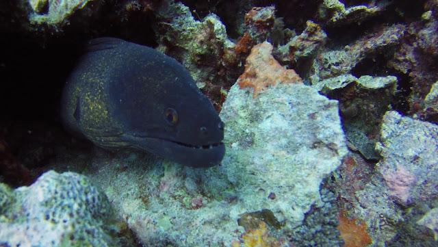 Moray eel Mafia island Tanzania