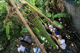 http://philippinesillustrated.blogspot.com/2015/08/freaky-bananas-that-baffled-local-news.html
