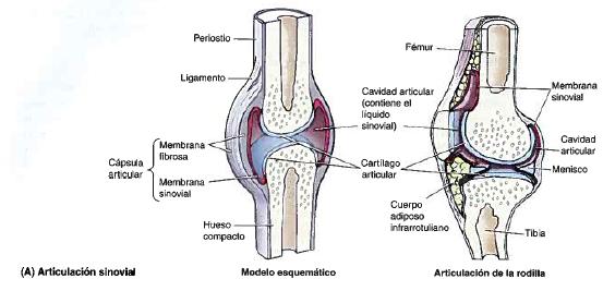 ARTROLOGÍA   Morfofisiología I