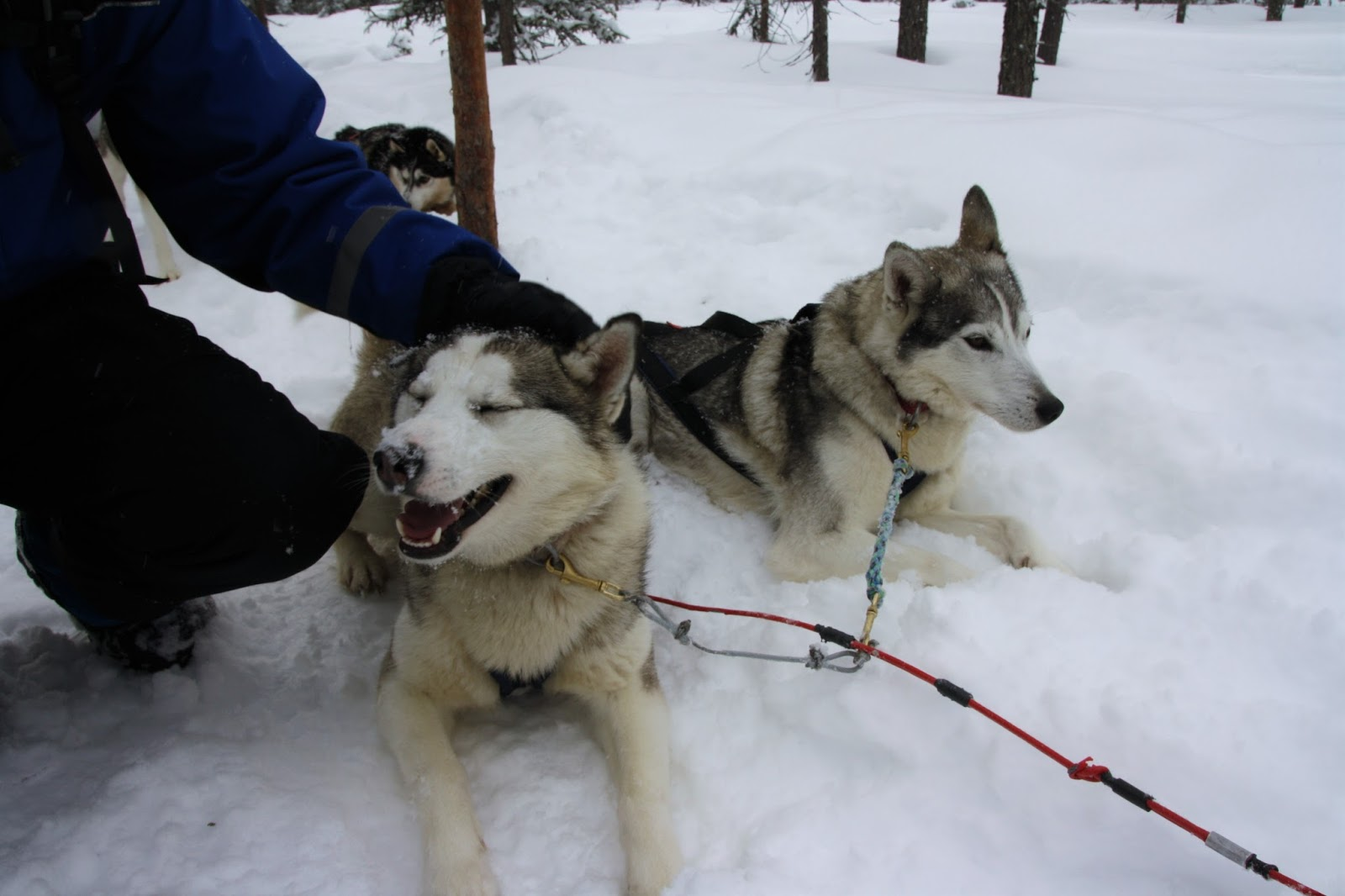 husky's knuffelen